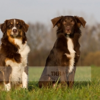 Australian Shepherd -DJ und Chillipepper