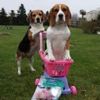 Beagle Jette und Frida