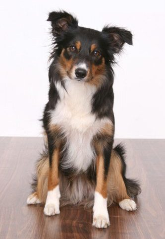 Border Collie - Hanni