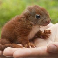 Eichhörnchen Baby