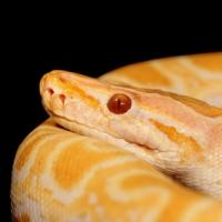 Tigerpython Albino