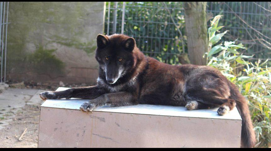 Schwarzer Wolf